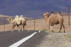 2 Bactrian верблюда пересекая дорогу Стоковая Фотография RF