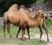 2 Bactrian верблюда с коричневыми волосами пока ел Стоковые Фотографии RF
