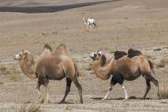 3 Bactrian верблюда Стоковое Изображение