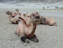 Bactrian верблюд в долине Nubra, Ladakh Стоковая Фотография