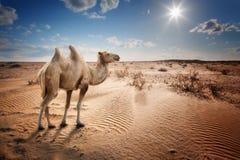 Bactrian верблюд в пустыне Стоковые Фото