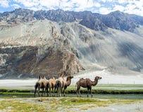 Bactrian верблюд на долине Hudar Стоковые Фотографии RF