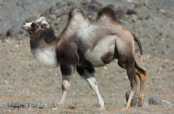 Bactrian верблюд на предпосылке гор Стоковое Изображение