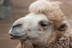 Bactrian верблюд Стоковые Фотографии RF
