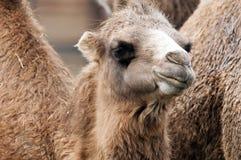 bactrian верблюд Стоковые Изображения