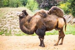 bactrian верблюд Стоковые Фото