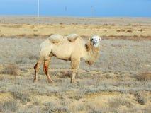 bactrian верблюд Стоковое Фото