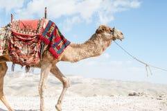 bactrian верблюд Стоковые Изображения RF