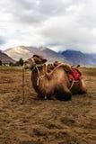 bactrian верблюд Стоковая Фотография RF