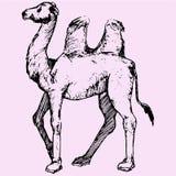 bactrian верблюд Стоковая Фотография
