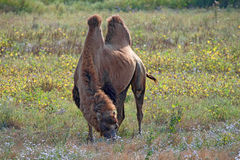 Bactrian верблюд (bactrianus camelus) Стоковые Фото
