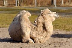 Bactrian верблюд, Camelus bactrian Стоковое Фото