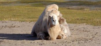 Bactrian верблюд, Camelus bactrian Стоковая Фотография