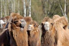 Bactrian верблюд, Camelus bactrian Стоковое Изображение RF