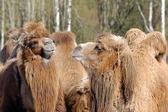 Bactrian верблюд, Camelus bactrian Стоковые Фото