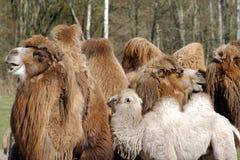 Bactrian верблюд, Camelus bactrian Стоковые Изображения