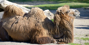 bactrian верблюд Camelus bactrian Стоковое фото RF