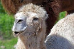 Bactrian верблюд, Camelus bactrian Стоковое Изображение