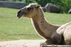 Bactrian Верблюд-Camelus Ferus, Bactrianus Стоковое фото RF