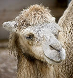 Bactrian camel 10 Stock Image