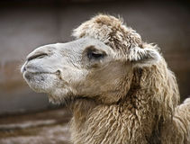 Bactrian camel 11 Royalty Free Stock Photography