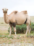 Bactrian camel Royalty Free Stock Image