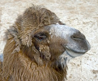Bactrian camel 13 Stock Photo