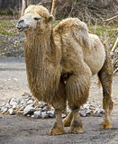 Bactrian camel 15 Stock Image