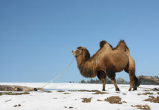 A Bactrian Camel. (Camelus bactrianus) is chewing a dry branch on the snow ground Stock Photo