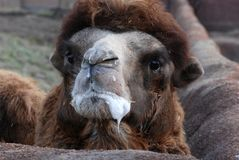 Bactrian camel Stock Image