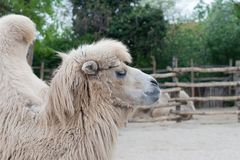 Bactrian, camel Royalty Free Stock Photography