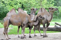 Bactrian camel 2 Royalty Free Stock Images