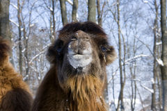Bactrian camel. Portrait of a Bactrian camel (Camelus bactrianus royalty free stock photo
