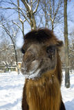 Bactrian camel. Portrait of a Bactrian camel (Camelus bactrianus stock image