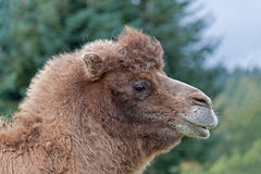 Bactrian Camel Royalty Free Stock Photos