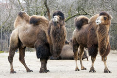 Bactrian camel Stock Photos