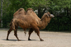 Bactrian Camel. A Bactrian camel aka a two-humped camel (Camelus bactrianus) at Prague Zoo, Czech Republic Stock Image
