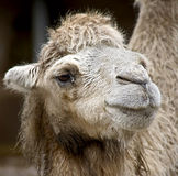Bactrian camel 9 Stock Photo