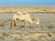 Bactrian camel. Royalty Free Stock Photography