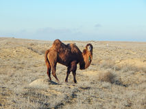 Bactrian camel. Stock Photo