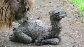 Bactrian camel baby stock video footage