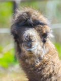 Bactrian camel baby Royalty Free Stock Images