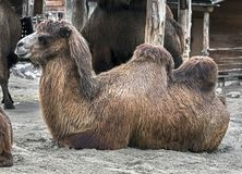 Bactrian camel 18 Royalty Free Stock Photography