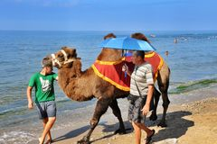 Bactrian camel on the beach Stock Photos