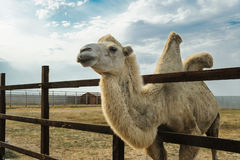 Bactrian camel is behind the fence. Royalty Free Stock Photography