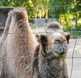 Bactrian camel behind the wire fence Royalty Free Stock Photography