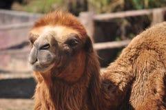 Bactrian Camel Stock Photo