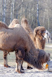 Bactrian camel, Camelus bactrian Royalty Free Stock Photo