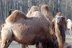 Bactrian camel, Camelus bactrian Royalty Free Stock Photography
