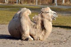 Bactrian camel, Camelus bactrian Royalty Free Stock Photos